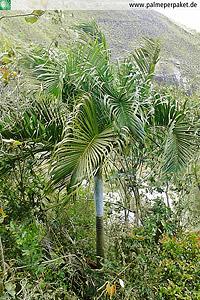 Jungpflanze von Dypsis ambositrae im natürlichen Verbreitungsgebiet
