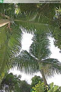 Dypsis ampasindavae im natürlichen Verbreitungsgebiet