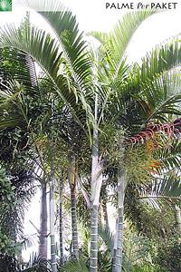 Erwachsene Dypsis cabadae im natürlichen Verbreitungsgebiet