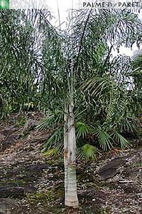 Erwachsene Dypsis plumosa im natürlichen Verbreitungsgebiet