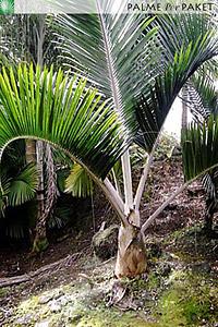 Erwachsene Dypsis sp. 'White Petiole' im natürlichen Verbreitungsgebiet