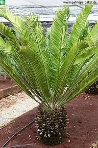 Erwachsene Encephalartos altensteinii in Kultur