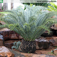 Erwachsene Encephalartos horridus in Kultur