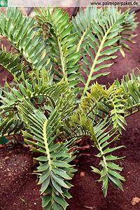Foto zeigt Encephalartos latifrons (NICHT die Hybride)