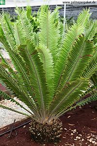 Encephalartos transvenosus in Kultur
