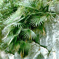 Erwachsene Guihaia argyrata im natürlichen Verbreitungsgebiet