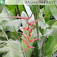 Blüte von Heliconia collinsiana var. collinsiana