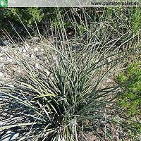 Hesperaloe engelmannii im natürlichen Verbreitungsgebiet