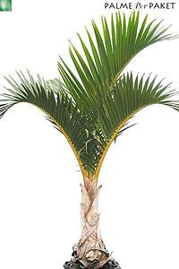 Jungpflanze von Hyophorbe verschaffeltii - Größe 160 cm