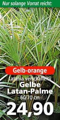 Jungpflanze von Latania verschaffeltii im natürlichen Verbreitungsgebiet