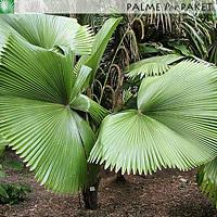 Erwachsene Licuala peltata var. sumawongii in Kultur