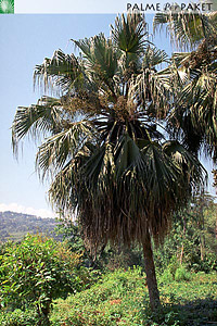 Erwachsene Livistona chinensis im natürlichen Verbreitungsgebiet