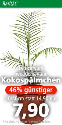 Lytocaryum weddellianum im natürlichen Verbreitungsgebiet