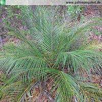 Erwachsene Macrozamia longispina im natürlichen Verbreitungsgebiet