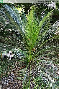 Macrozamia miquelii im natürlichen Verbreitungsgebiet