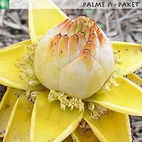 Blüte von Musella lasiocarpa