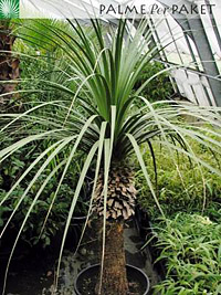 Nolina longifolia als Kübelpflanze