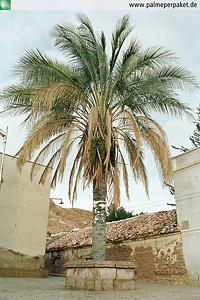 Erwachsene Parajubaea torallyi var. microcarpa in Kultur
