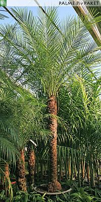 Jungpflanze von Phoenix roebelenii - Größe 40 cm