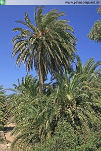 Erwachsene Phoenix theophrasti im natürlichen Verbreitungsgebiet