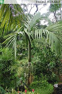 Erwachsene Pinanga speciosa im natürlichen Verbreitungsgebiet