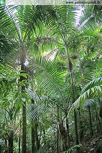 Erwachsene Prestoea acuminata var. montana im natürlichen Verbreitungsgebiet