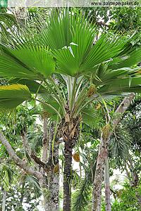 Erwachsene Pritchardia thurstonii im natürlichen Verbreitungsgebiet