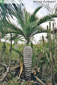 Erwachsene Pseudophoenix ekmanii im natürlichen Verbreitungsgebiet