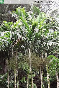 Erwachsene Ptychosperma salomonense im natürlichen Verbreitungsgebiet