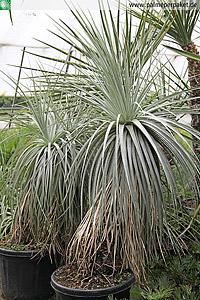 Erwachsene Puya coerulea var. violacea in Kultur - Größe 150 cm