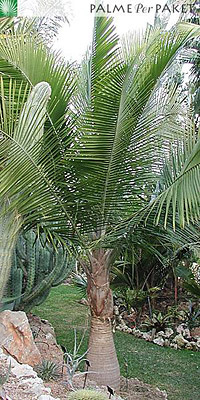 Erwachsene Pflanzen