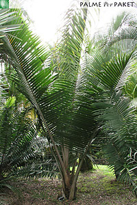 Jungpflanze von Ravenea sambiranensis in Kultur
