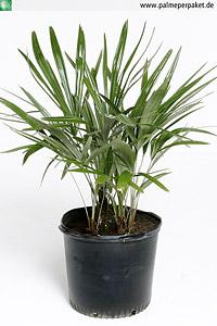 Jungpflanze von Rhapidophyllum hystrix - Größe 70 cm