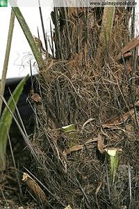 Stacheln am Stamm von Rhapidophyllum hystrix