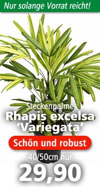Jungpflanze von Rhapis excelsa 'Variegata' - Größe 40 cm