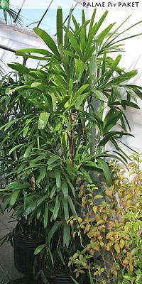 Erwachsene Rhapis excelsa - Größe 200 cm