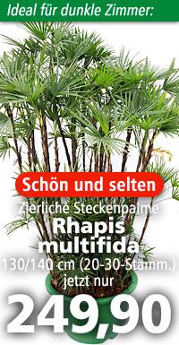 Erwachsene Rhapis multifida im natürlichen Verbreitungsgebiet