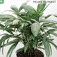 Jungpflanze von Rhapis subtilis