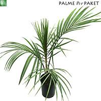 Jungpflanze von Rhopalostylis sapida 'Little Barrier Island' - Größe 100 cm