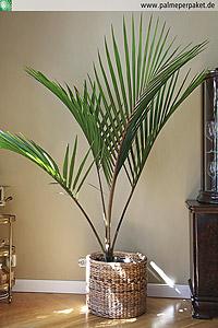 Jungpflanze von Rhopalostylis sapida 'Little Barrier Island' in Kultur - Größe 160 cm