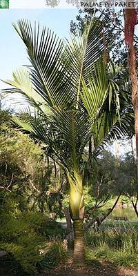 Erwachsene Rhopalostylis sapida 'Little Barrier Island' im natürlichen Verbreitungsgebiet