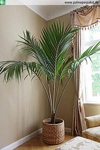 Jungpflanze von Rhopalostylis sapida 'Oceana' - Größe 200 cm