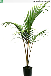 Jungpflanze von Rhopalostylis sapida 'Oceana' - Größe 100 cm