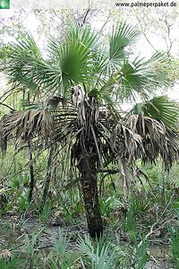 Sabal x brazoriensis im natürlichen Verbreitungsgebiet in Texas, USA
