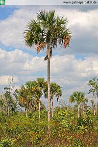Erwachsene Sabal yapa im natürlichen Verbreitungsgebiet