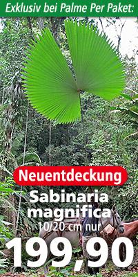 Erwachsene Sabinaria magnifica im natürlichen Verbreitungsgebiet