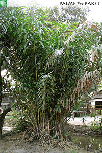 Erwachsene Salacca wallichiana im natürlichen Verbreitungsgebiet