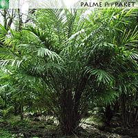 Erwachsene Salacca zalacca im natürlichen Verbreitungsgebiet