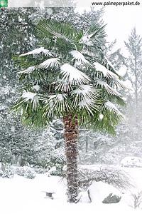 Trachycarpus fortunei im Schnee
