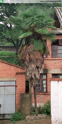 Erwachsene Trachycarpus fortunei in Kultur in China